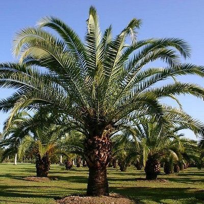 5 Canary Island Date Palm Seeds Under The Sun