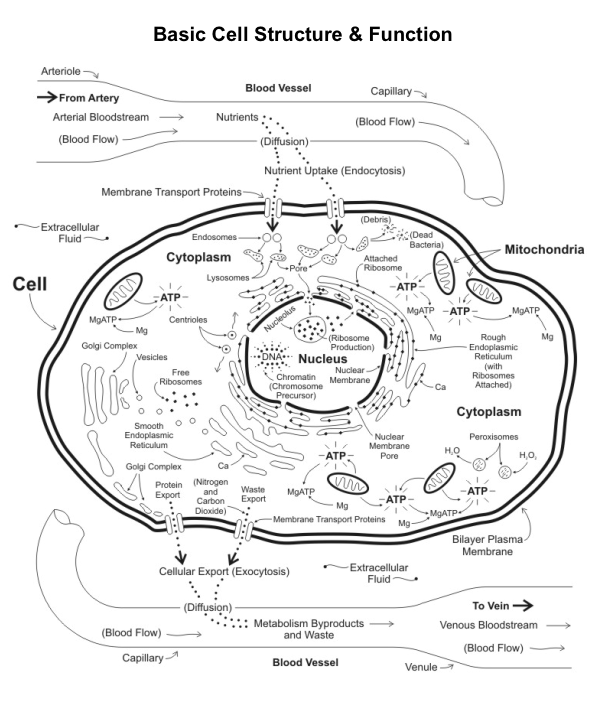 essay questions on cell organelles Animal cell the animal cell like the plant cell has many different organelles but each one is need to work as a whole here are the organelles and their functions, cell membrane is a thin layer of protection which can be viewed as a condom which is made for a payer of protein and fats, the membrane allows some substance to pass though but not.