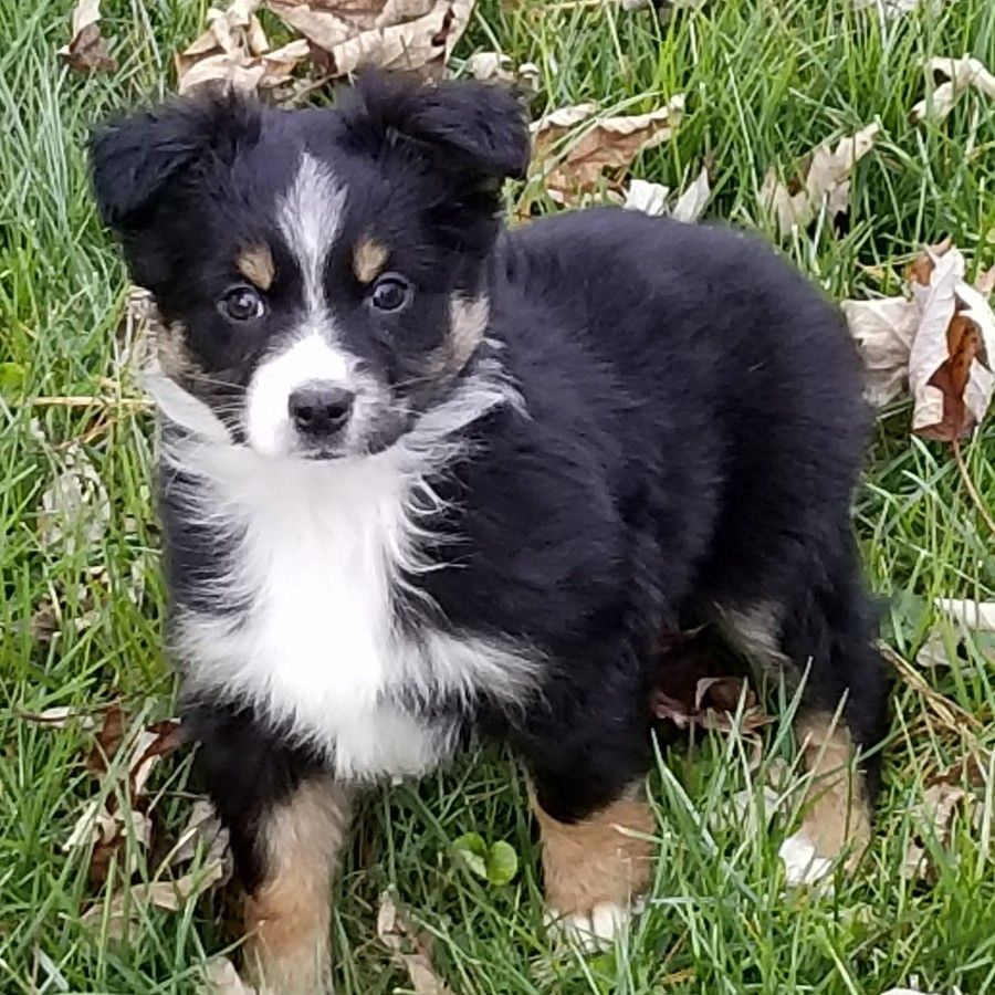 Puppies For Sale Miniature Australian Shepherd Miniature