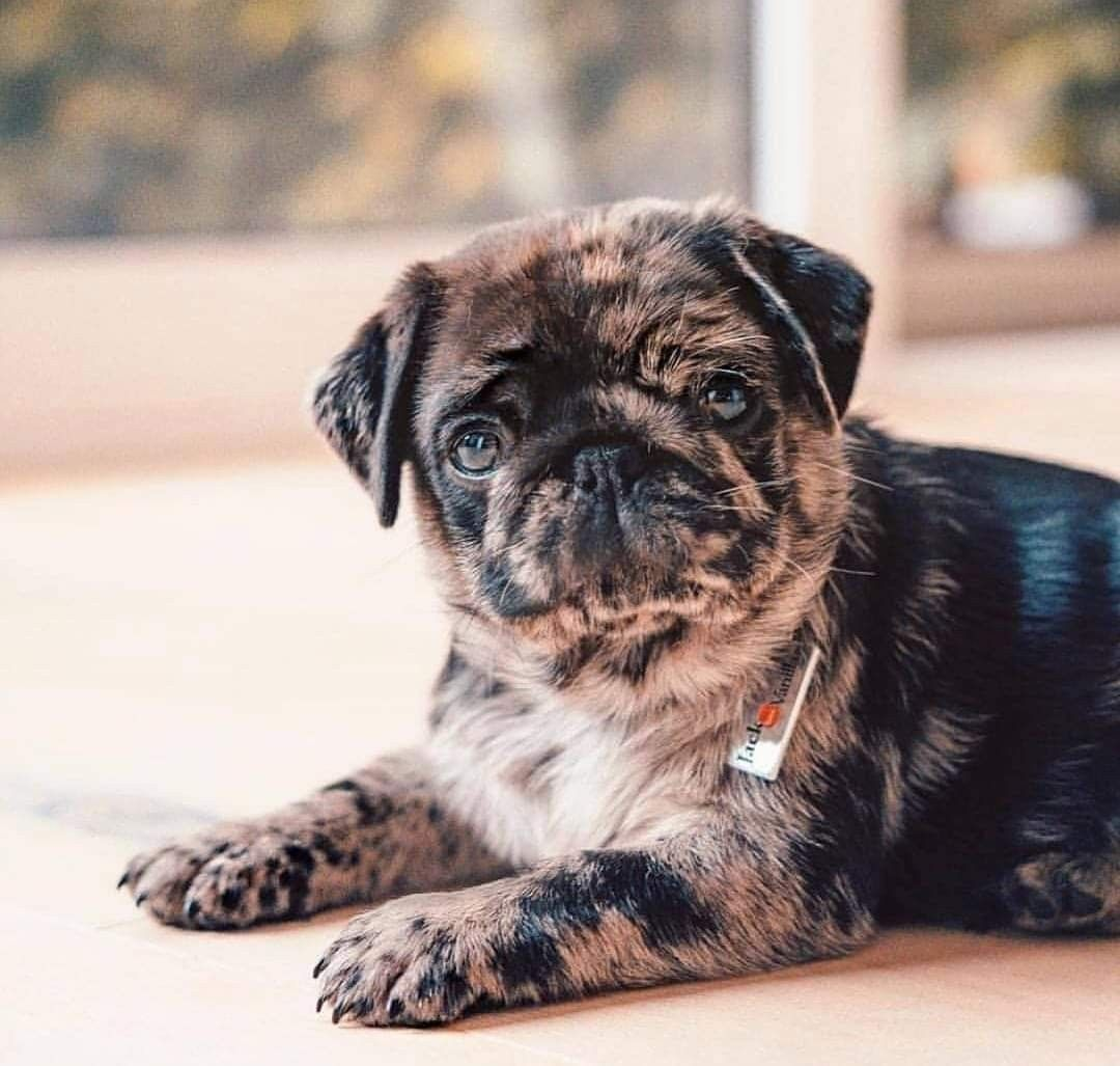 Pin By James Stapp On Pugs Baby Pugs Brindle Pug Cute Pug Puppies