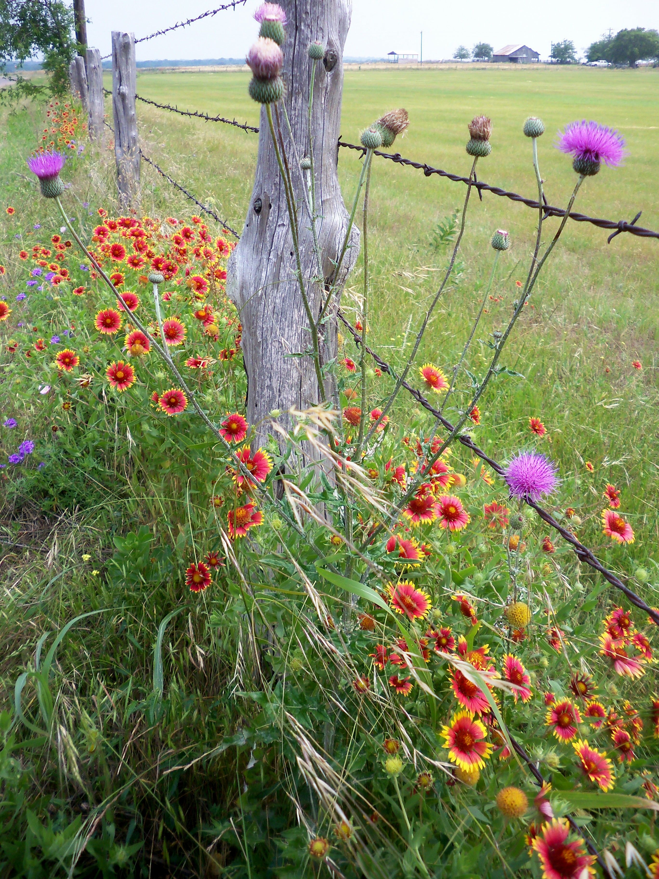 Indian blanket flowers and thistle in central texas my