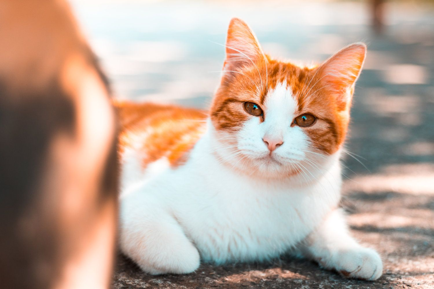 Hydromorphone Vs Dexmedetomidine For Emesis Induction In Cats Vet Candy Orange Tabby Cats Cat Pics I Love Cats