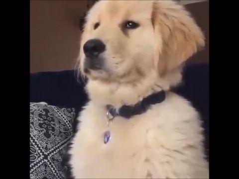 Funniest Golden Retriever Videos 2017 6 Youtube Dogs