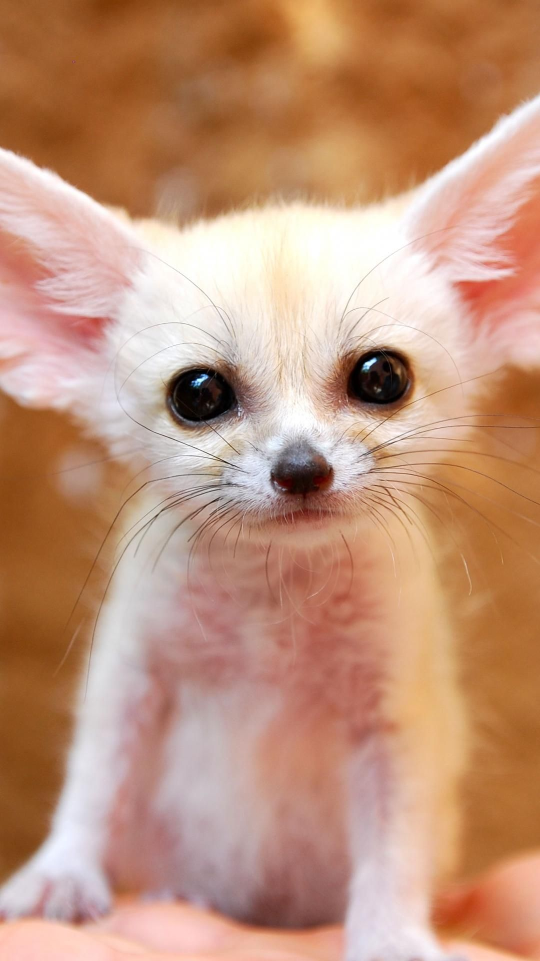 Full Grown Fennec Fox wallpaper. … Cute animals, Cute