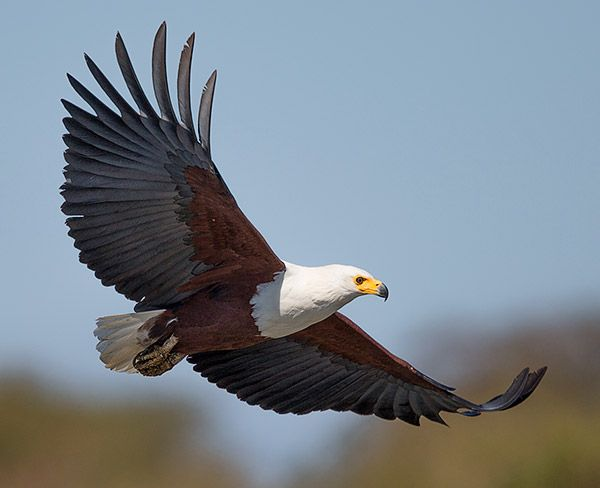 African Fish Eagle In Flight Pet Birds African Eagle In Flight