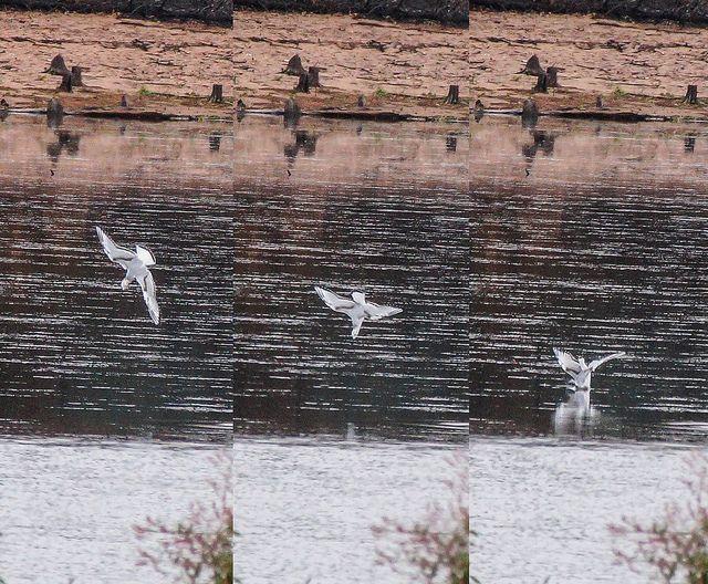 Bonaparte's Gull   Flickr - Photo Sharing!