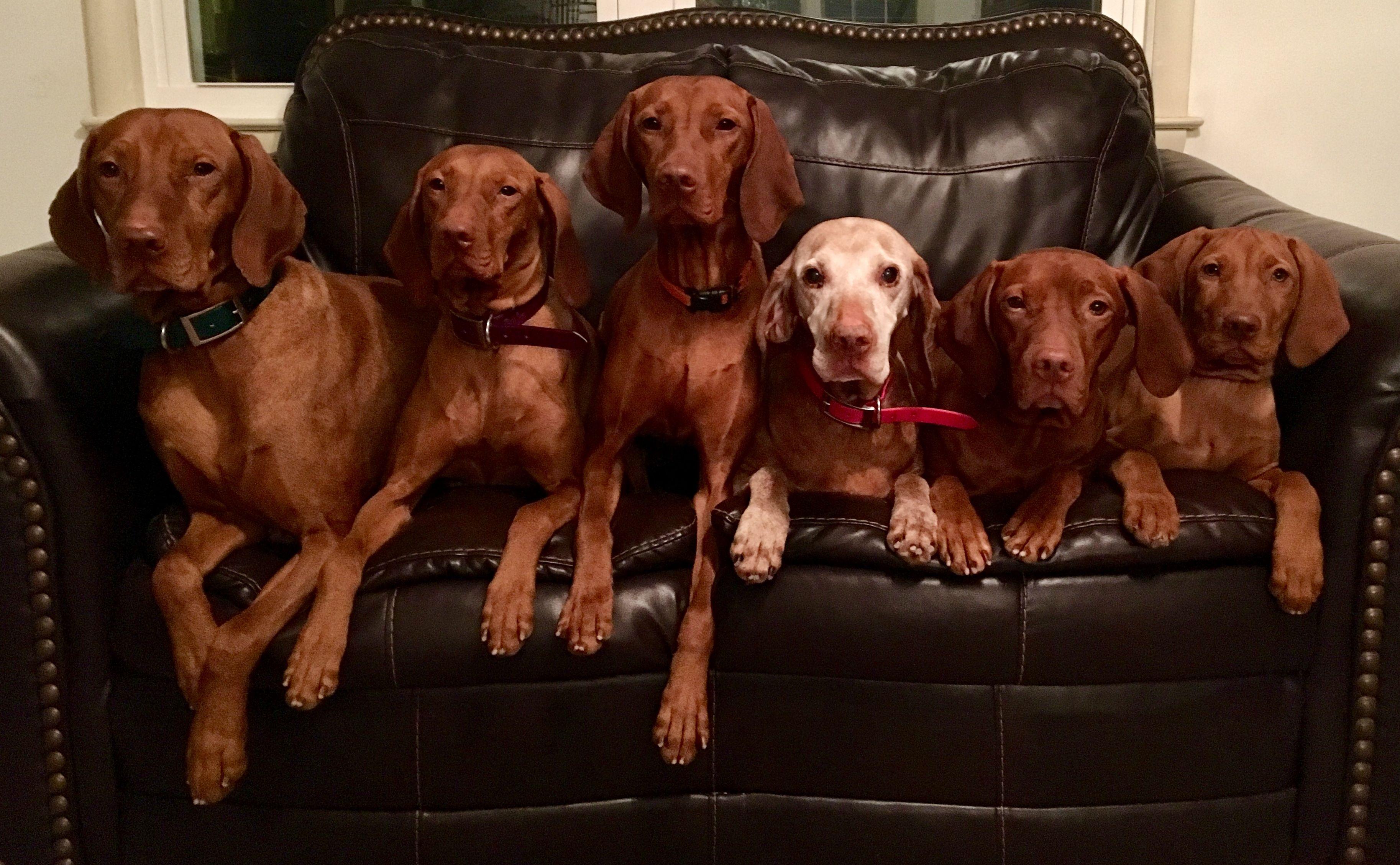 Willorunn Vizslas So many year of LOVE! ❤️   Vizsla, Dogs, Animals