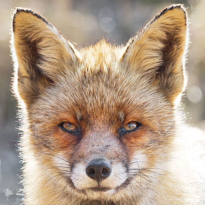 Photographer Captures Distinctive Fox Portraits to Reveal Their Vastly Different…