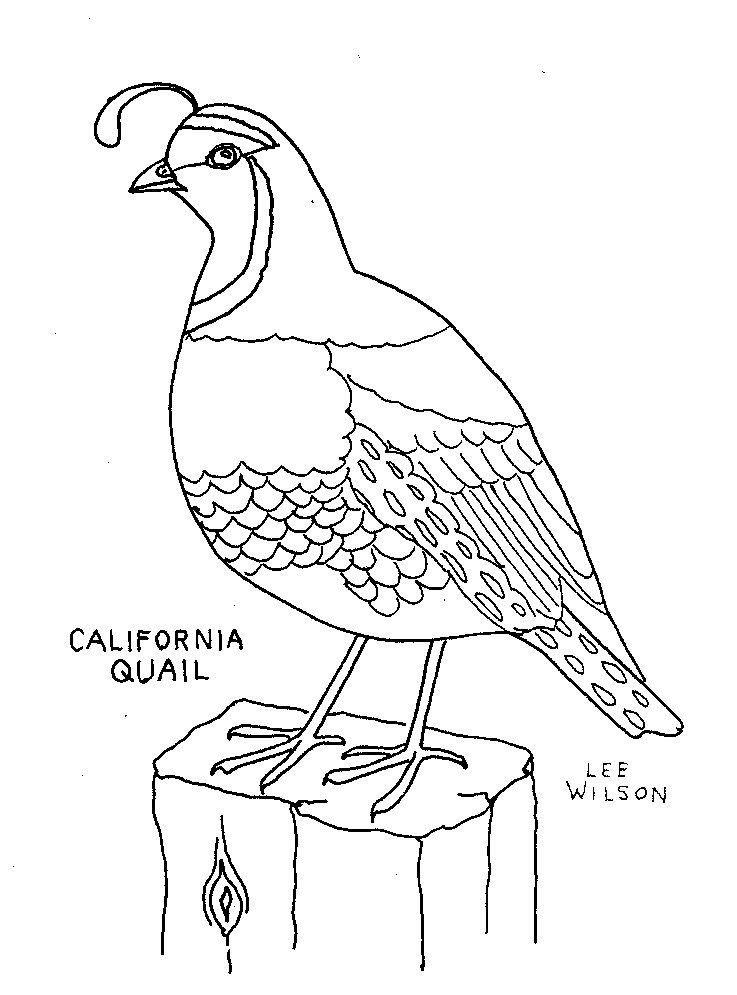 California Quail Coloring Picture Art Quilts Bird Drawings