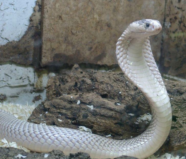 White Cobra Cobra Snake Pet Snake King Cobra Snake