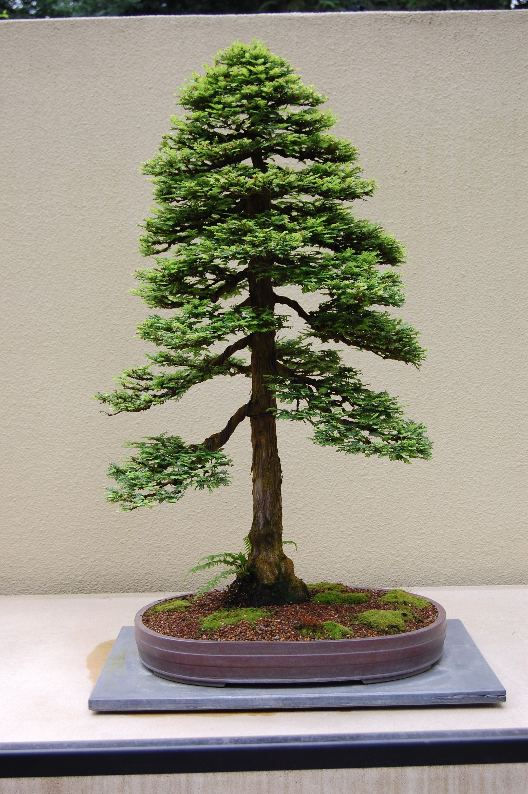 Best In The Northwest At The Pacific Rim Bonsai Collection