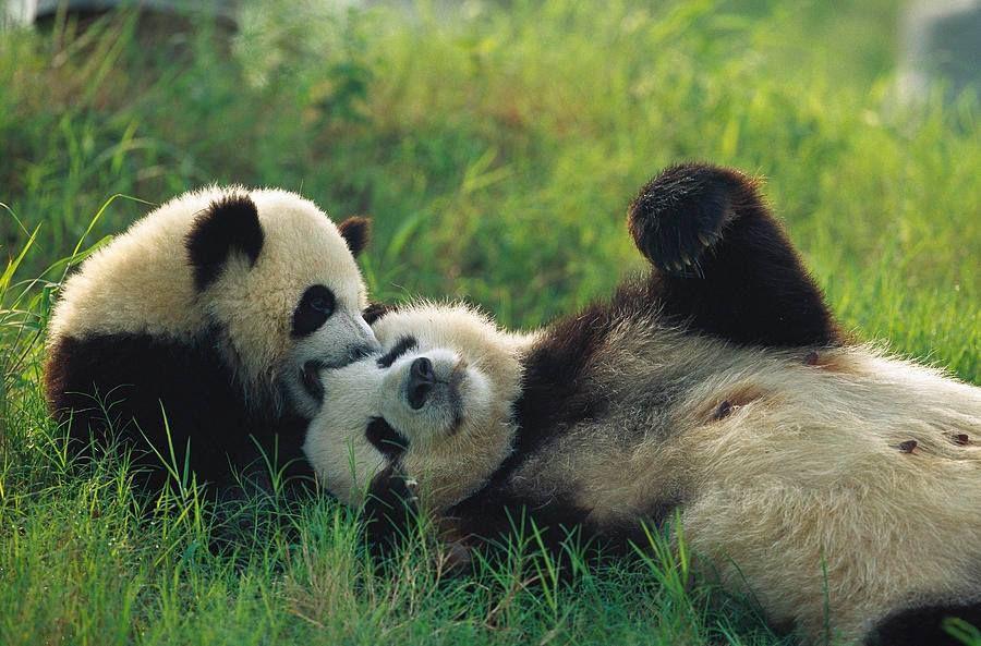 amor panda!