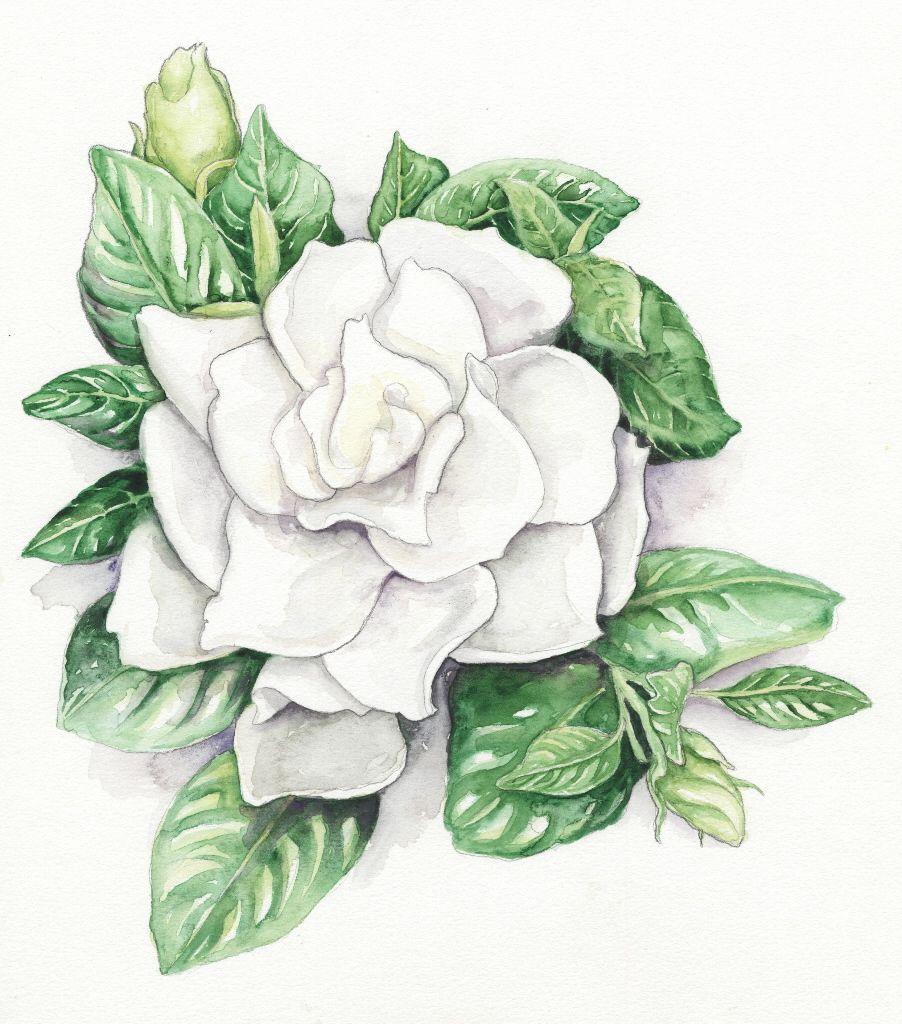 Gardenia Jasminoides Chuck Hayes Gardenia Tattoo Gardenia Flower Drawing