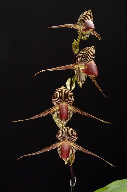 Paph Rothschildianum Paphs Pinterest Orchid Lady Slipper