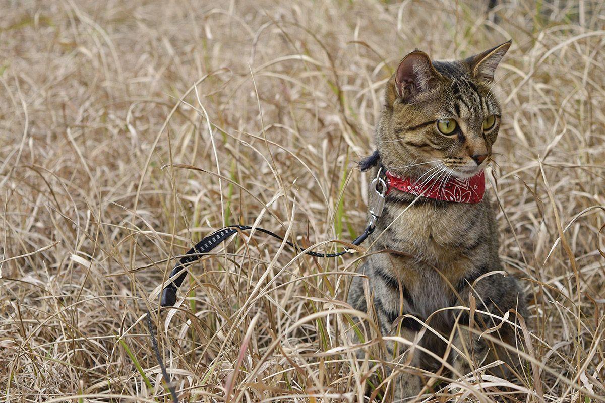 枯草のなかのキジトラ猫の虎ノ介