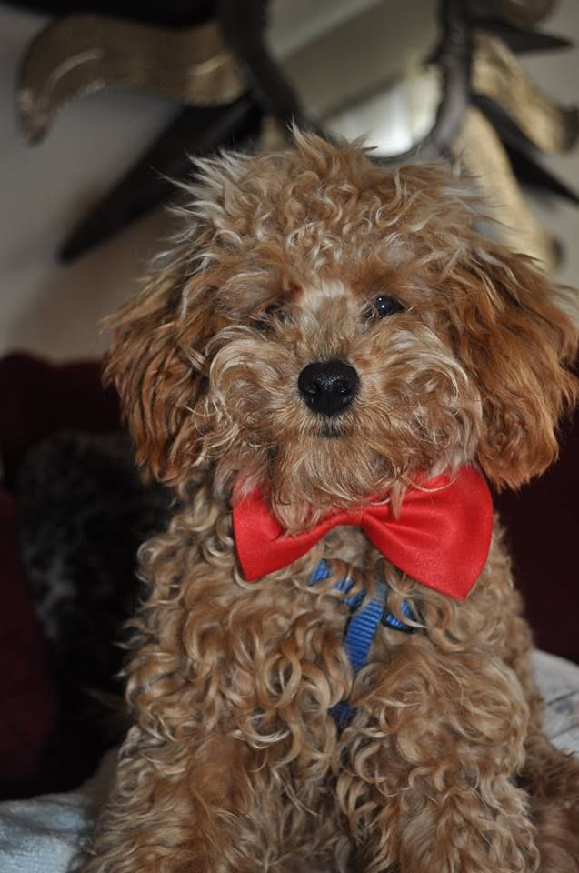 Teddy The Poodle Red Poodle Puppy Poodle