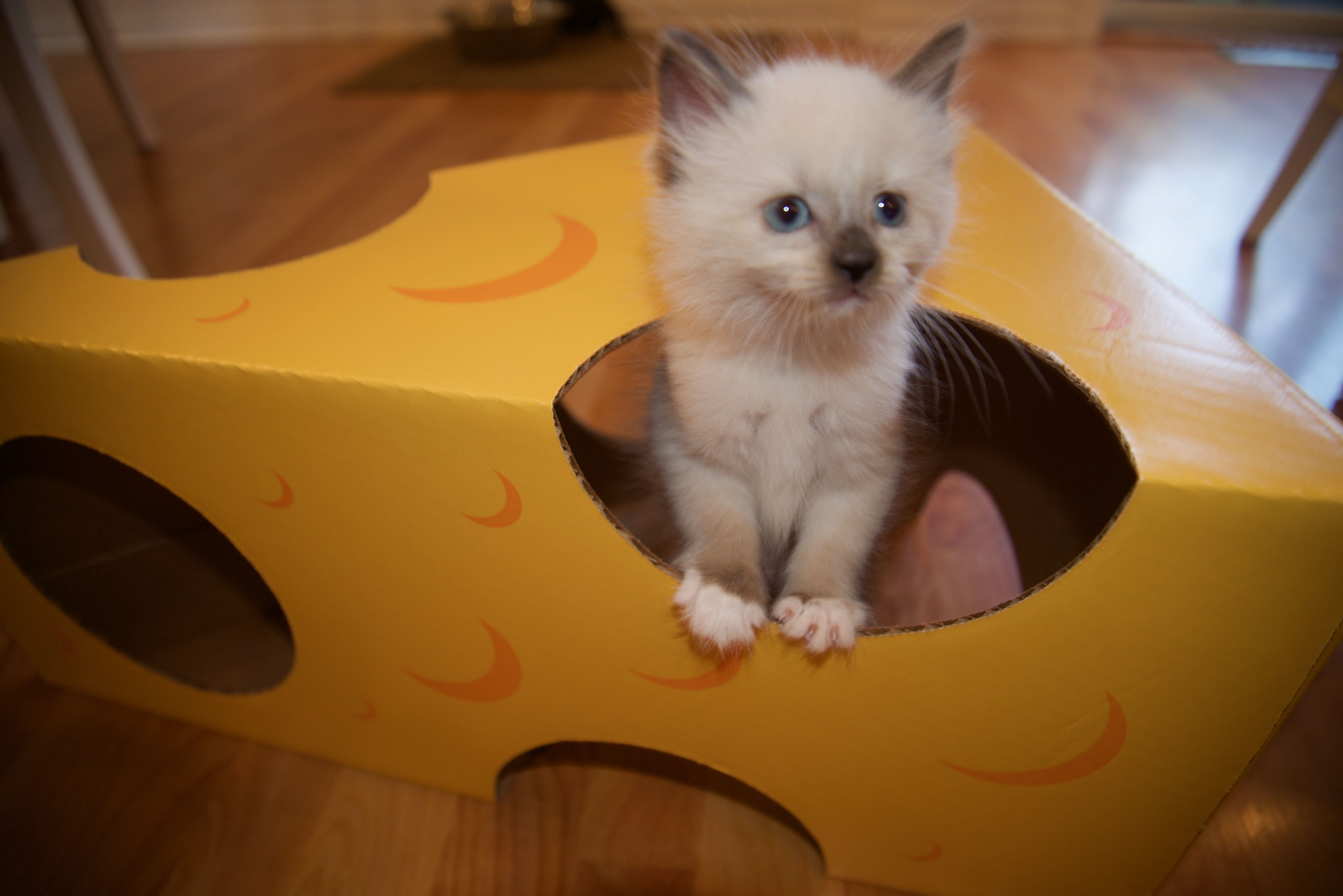 Kittens Love Cardboard Boxes Too This 6 Week Old Baby Is One Of Four Little Ones We Are Are Fostering For Metrowest H Foster Kittens Cat Care Kitten Proofing