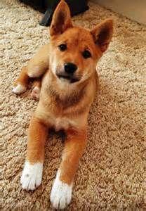 Shiba Inu Corgie Mix Bing Images Shiba Inu Mix Shiba Inu Cute Animals