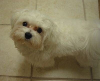 Nemo The Maltese At 1 Year Old His Puppy Dog Face Can Win Over