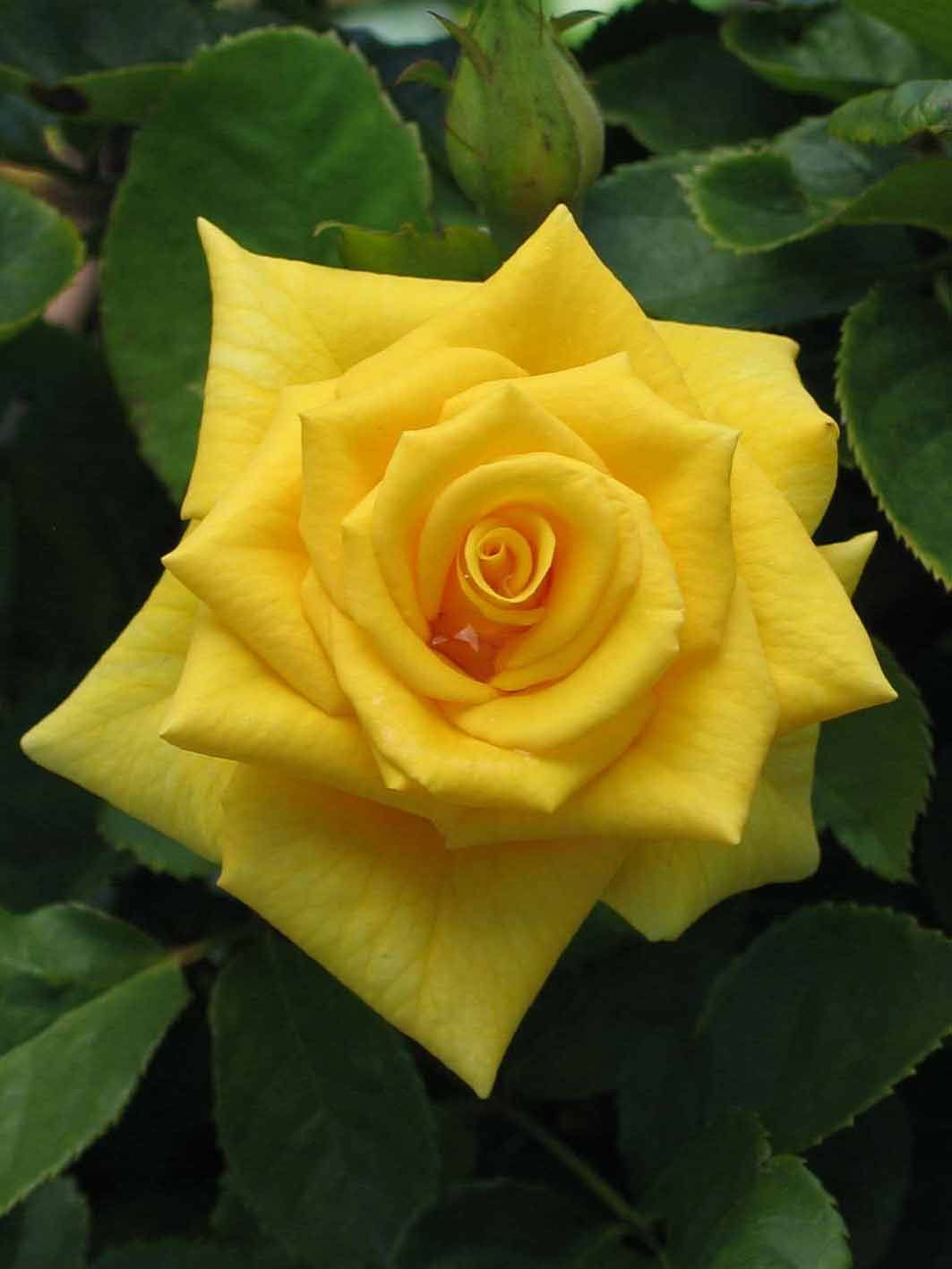 Treloar roses go for gold talk of roses pinterest gold treloar roses go for gold mightylinksfo