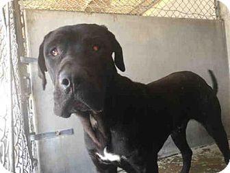 Great Dane Mix Dog For Adoption In San Bernardino California