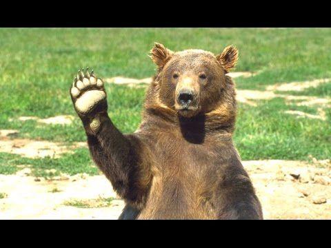 Bears A Cute And Funny Bear Videos Compilation New Hd Youtube Bear Stuffed Animal Funny Bears Animals