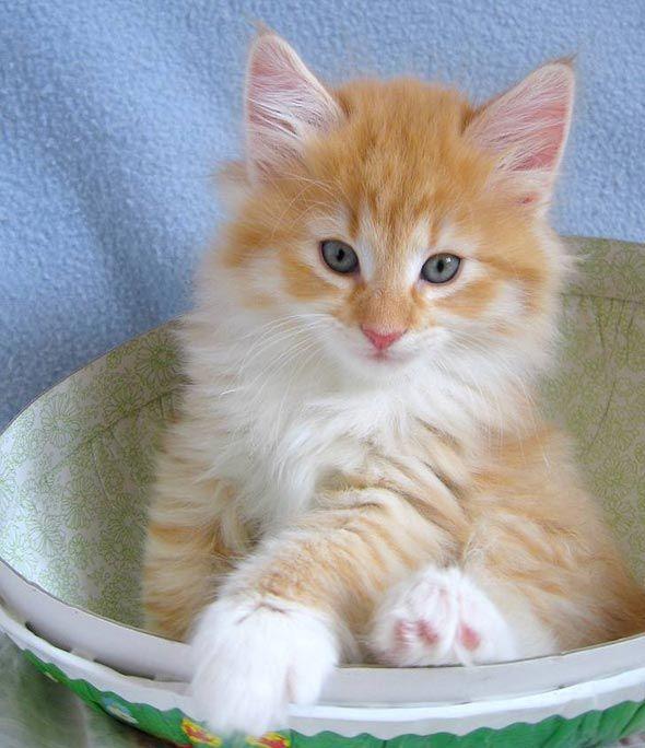 Good Morning Kitten Galadriel S Kittens Sydney 5 April 24