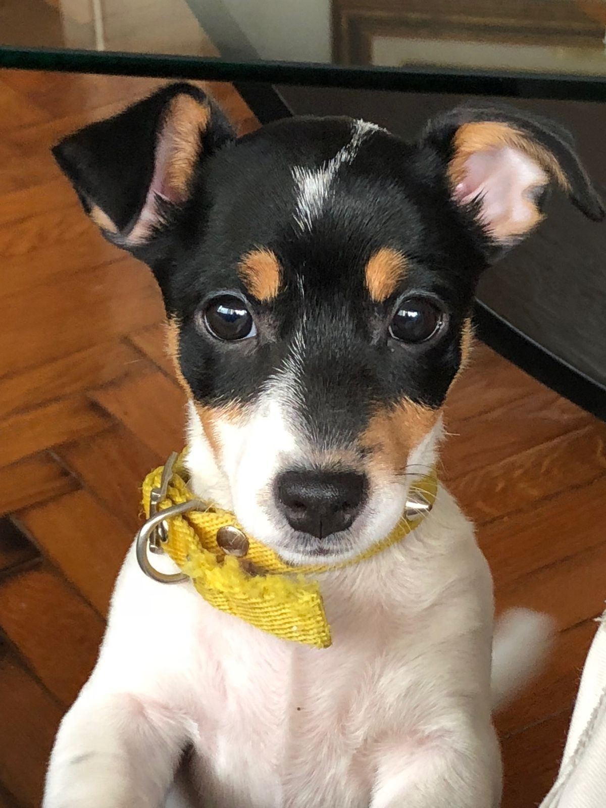 Pin By Thea H On Cute Jack Russell Terrier Puppies Rat Terrier