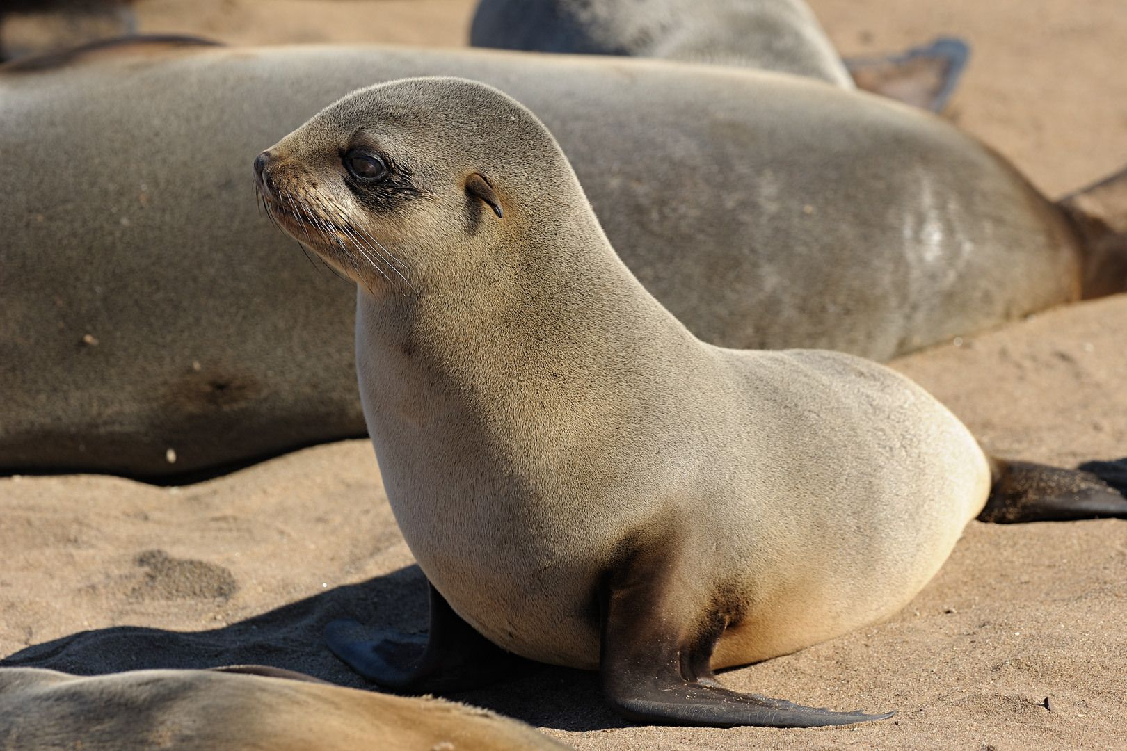 Sea Lion brown fur seal | Seals and sea lions | Pinterest ...