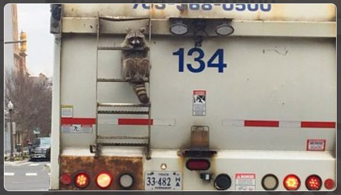 A Real Life Motivation Poster Appeared On Friday When A Commuter Noticed A Raccoon Hanging Onto The Back Of A Garbage Truck As Both Life Motivation Daily Reminder Positive Quotes