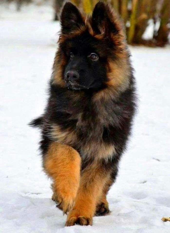 En La Nieve Mas Fur Baby Pinterest German Shepherd Dogs Dogs