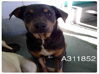 San Antonio Tx Rottweiler Mix Meet A311852 A Dog For Adoption