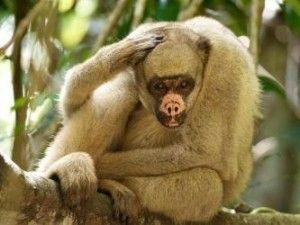 singe-araignée-laineux