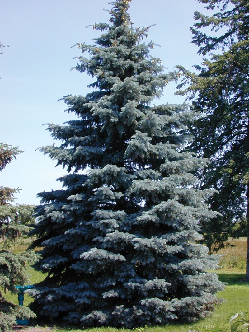 Colorado Blue Spruce Google Search Plants And Landscaping Pinterest Blue