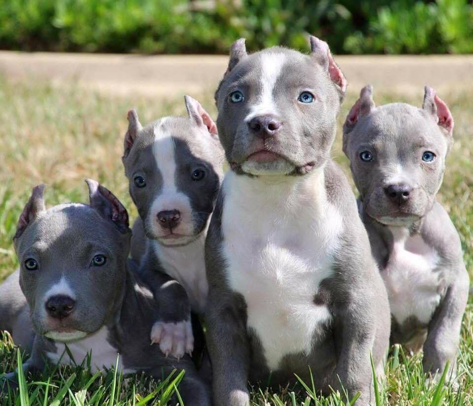 Pin By Randy Mcpherson On American Staffordshire Terrier Pitbull