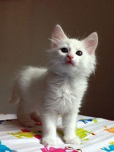 How To Groom A Turkish Angora Cat Cat Grooming Turkish Angora