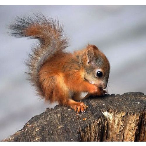 Baby Red Squirrel There Are 5 Of These Little Guys Running Around My