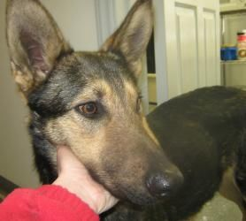 Simba Is An Adoptable German Shepherd Dog Dog In Summersville Wv