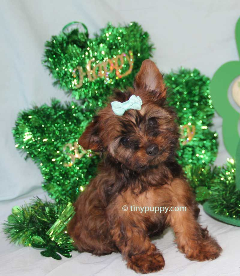 Teacup Golden Sable Girl With Chocolate Bloodlines Tinypuppy Com Teacup Puppies For Sale Teacup Puppies Teacup Yorkie