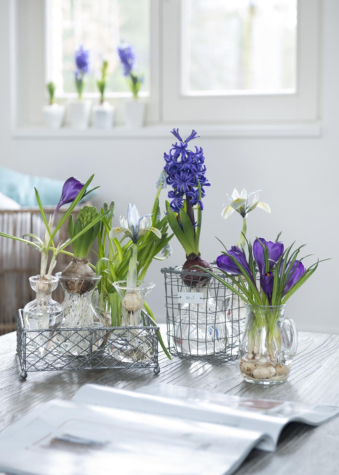 Le printemps dans la maison avec des bulbes précoces
