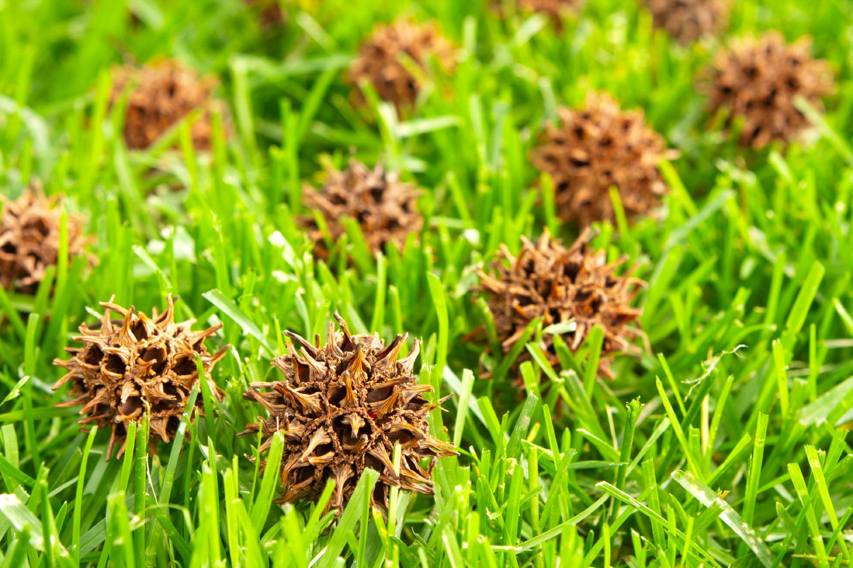 Can You Compost Sweetgum Balls Learn About Sweetgum Balls In Compost Tree Mulch Fertilizer For Plants Compost