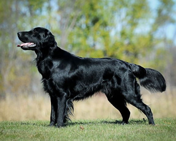 Flashback Flat Coated Retrievers Flat Coated Retriever Retriever Large Dog Breeds