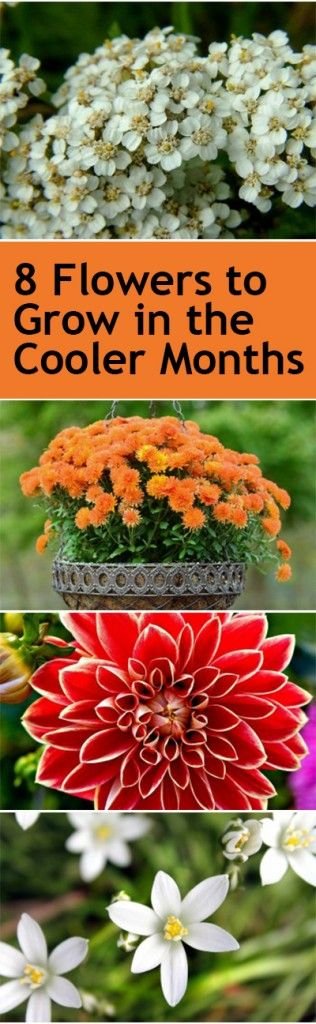 8 Flowers to Grow in the Cooler Months #wintergardening