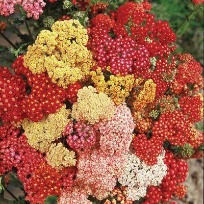 Yarrow Summer Berries Achillea Millefolium Ripe For The Picking Summer Berries Explodes With A Tempting Arra Flower Seeds Herbaceous Perennials Summer Berries