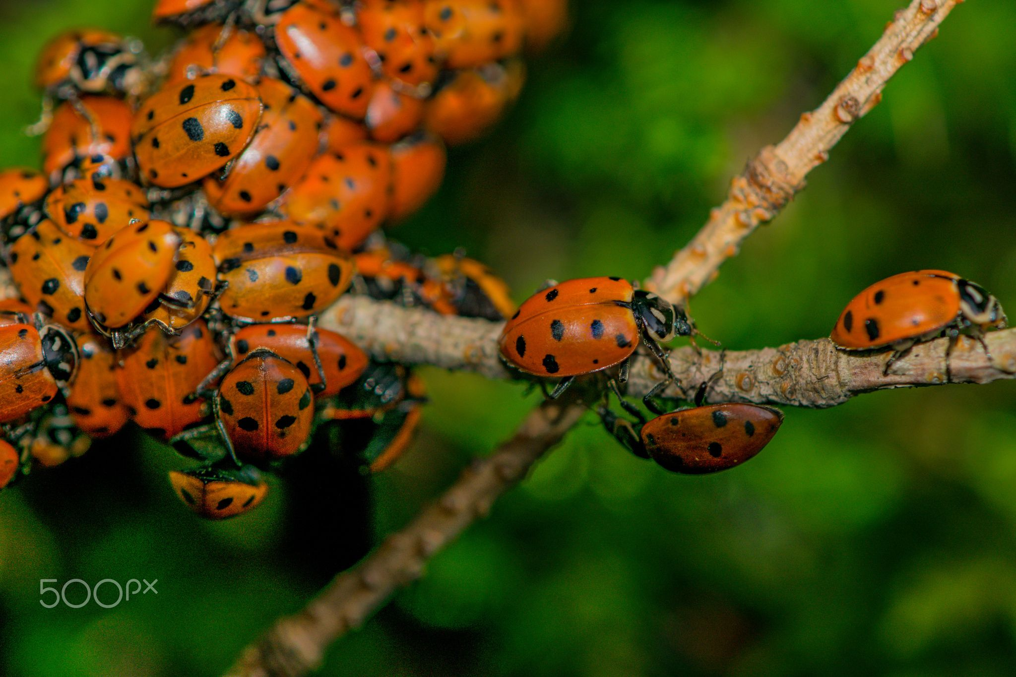 Pursuit - Ladybugs and their spring mating pursuits in the Blue Mountains of NE Oregon.