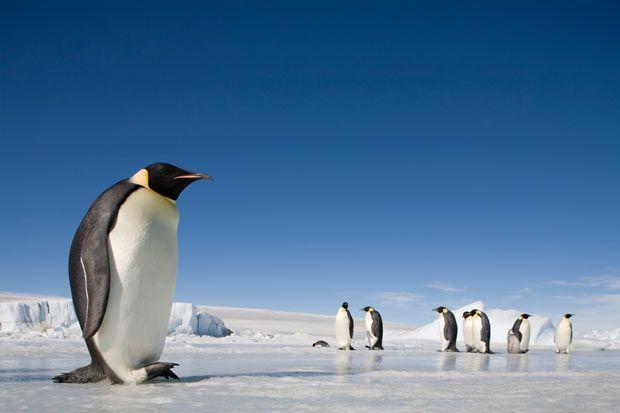 Snow Hill Island, Emperor Penguins on frozen sea ice in Antarctica.