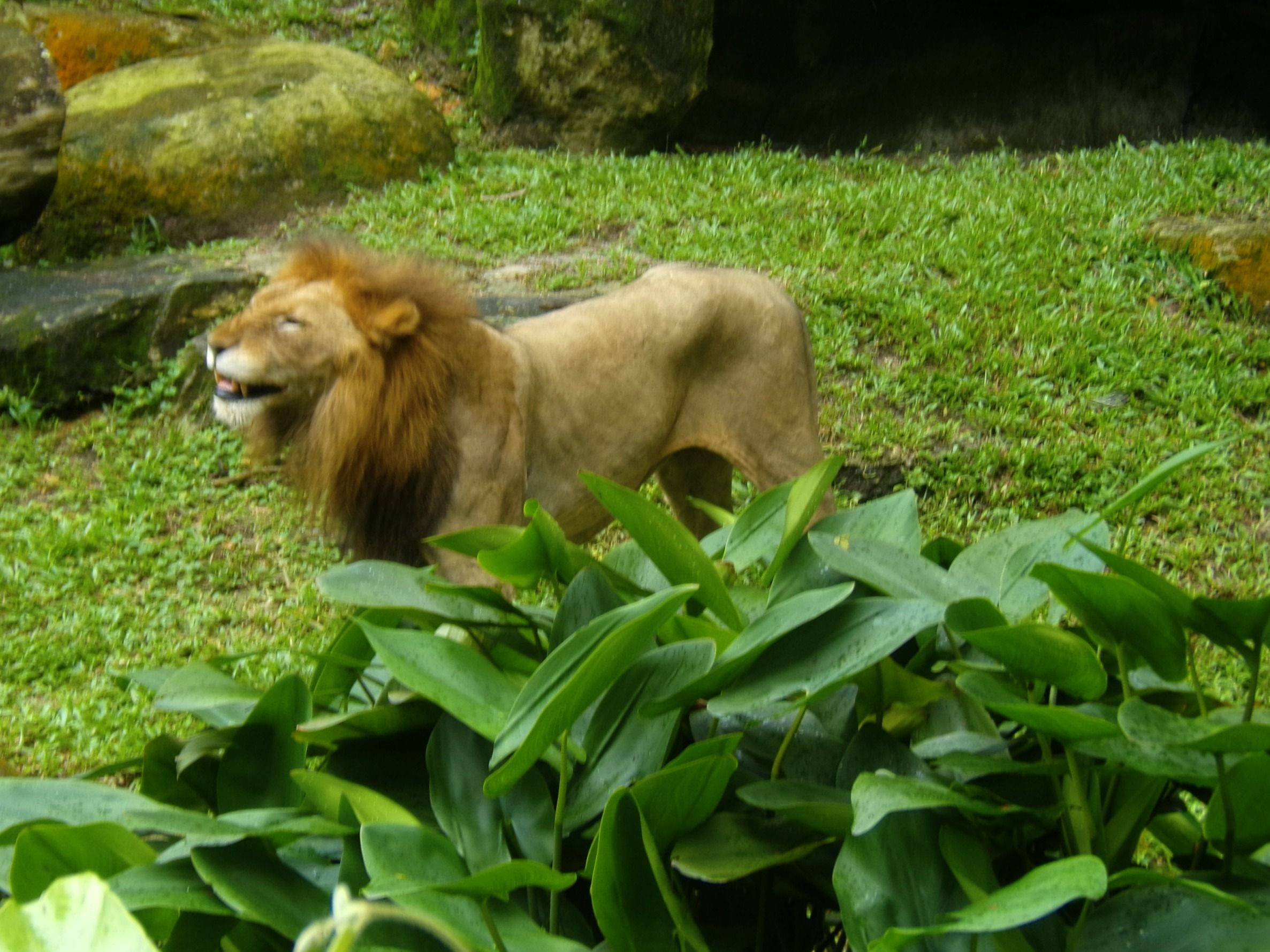 Smiling lion #candid #lion #smile #singaporezoo