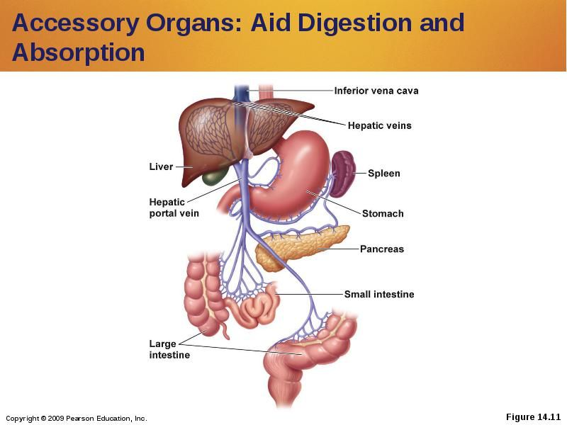 Accessory Organs Of The Digestive System Prepossessing Gitractabsorption  Digestion And Absorption Accessory Organs Design Decoration