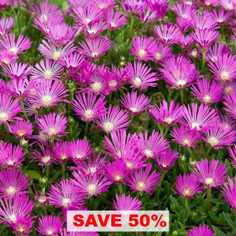 Roses In Garden: Delosperma Cooperi Is The Perfect Long Blooming And