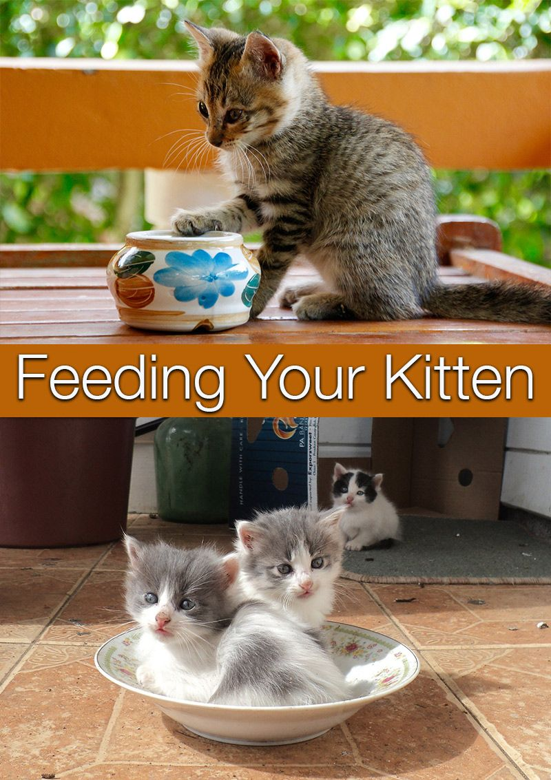 Feeding Your Kitten Feeding Kittens Kitten Food Kitten Care